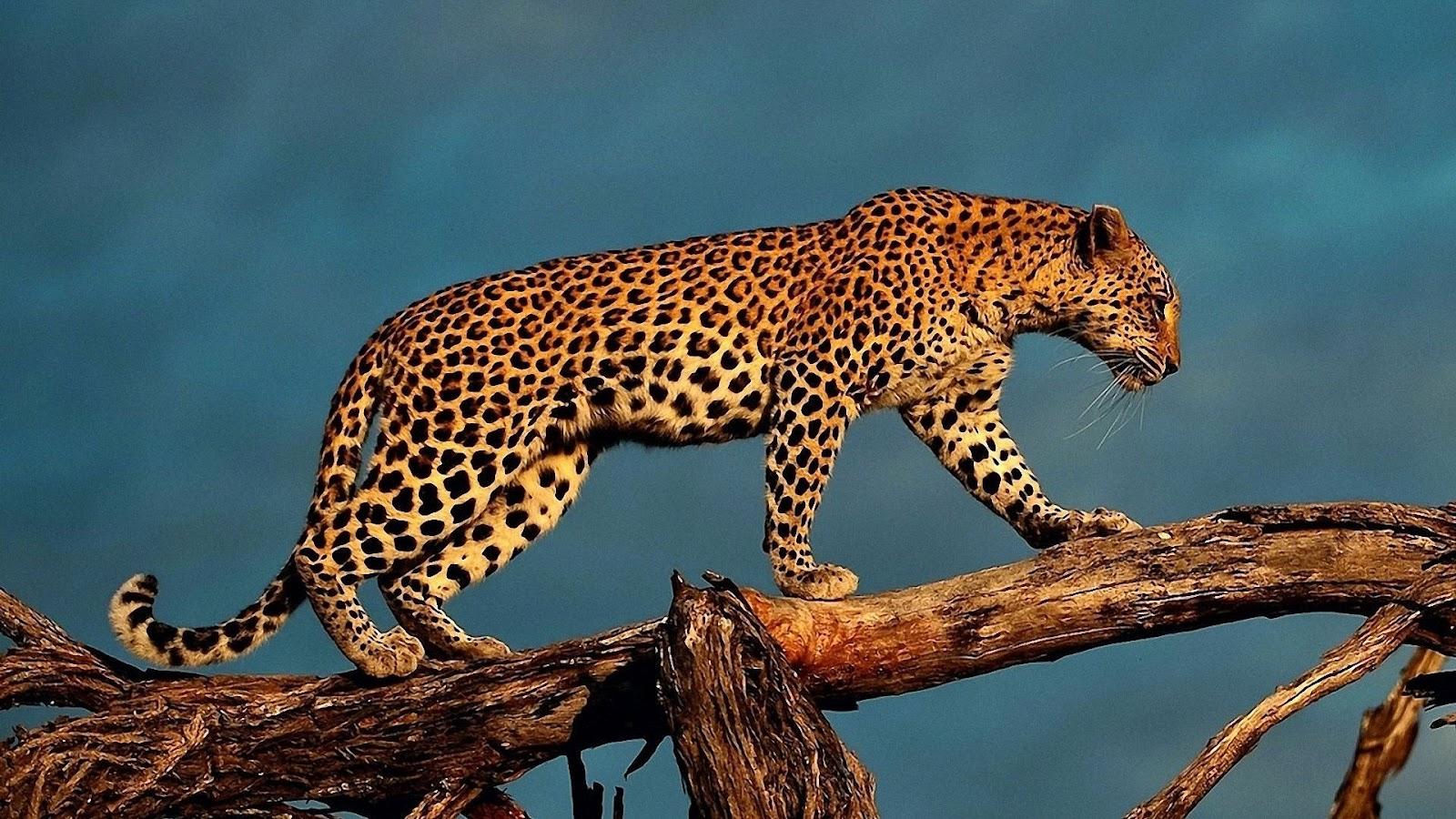 Leopard Backgrounds, Compatible - PC, Mobile, Gadgets| 1600x900 px