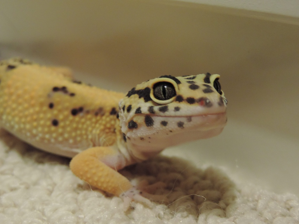 HQ Leopard Gecko Wallpapers | File 184.67Kb