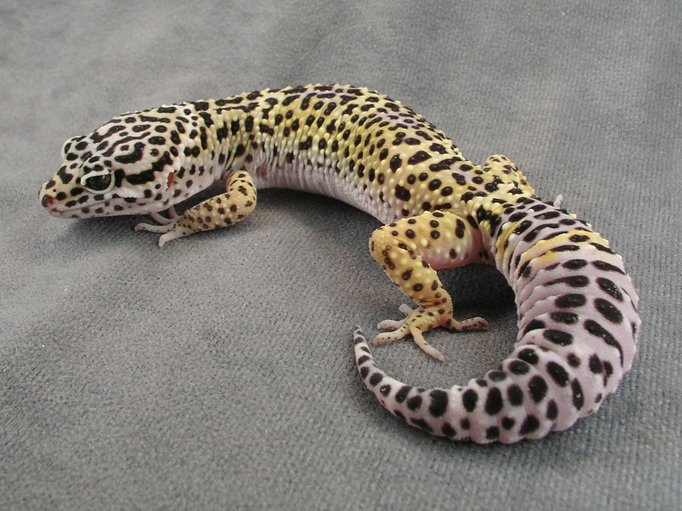 Leopard Gecko High Quality Background on Wallpapers Vista