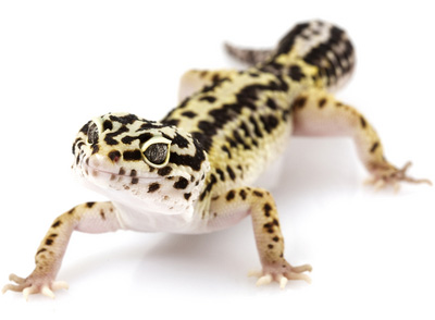 HQ Leopard Gecko Wallpapers | File 27Kb