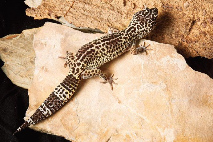 Leopard Gecko Backgrounds on Wallpapers Vista