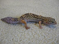 Amazing Leopard Gecko Pictures & Backgrounds