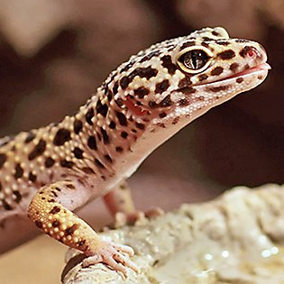 Nice wallpapers Leopard Gecko 315x315px