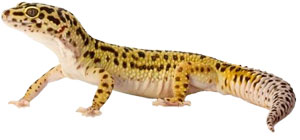 Images of Leopard Gecko | 300x140