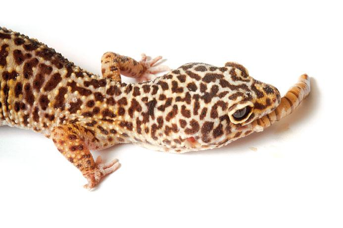 Nice wallpapers Leopard Gecko 693x462px