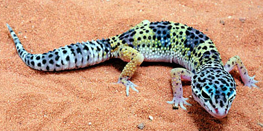Nice Images Collection: Leopard Gecko Desktop Wallpapers