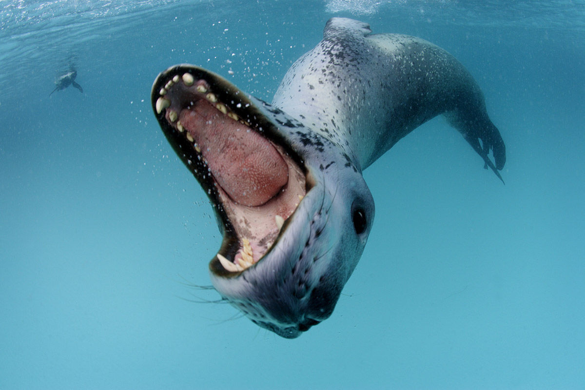 Nice wallpapers Leopard Seal 1200x800px