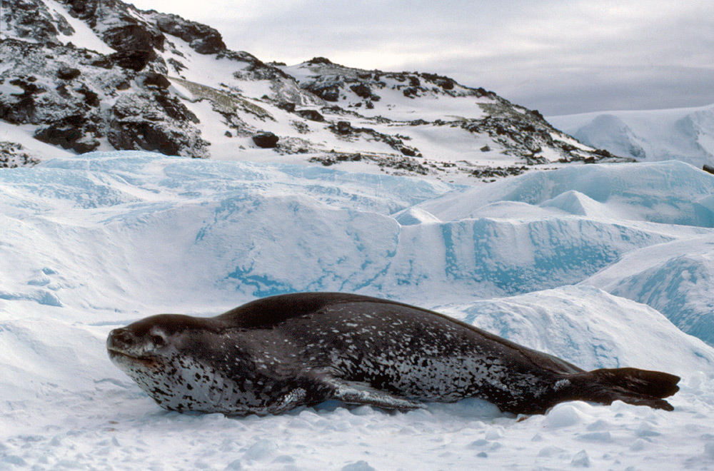 Nice wallpapers Leopard Seal 1000x660px