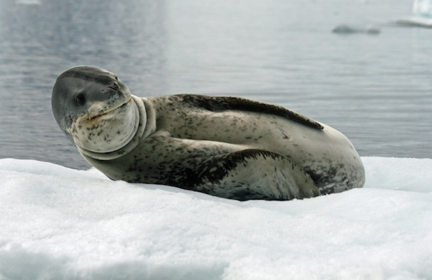 Nice wallpapers Leopard Seal 624x404px
