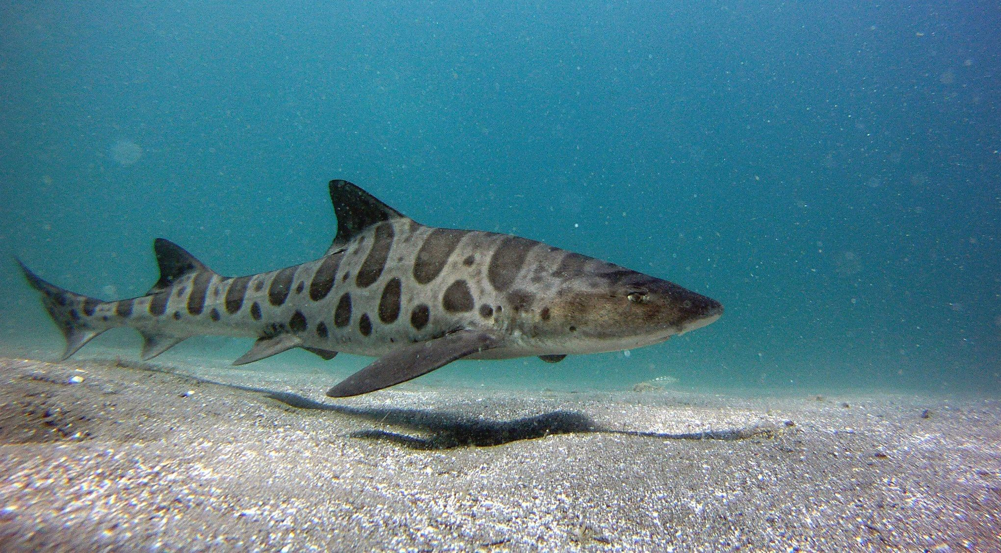 Images of Leopard Shark | 2040x1128
