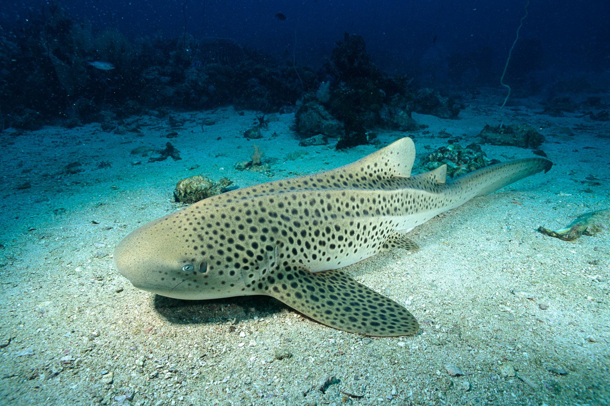 HQ Leopard Shark Wallpapers | File 903.73Kb