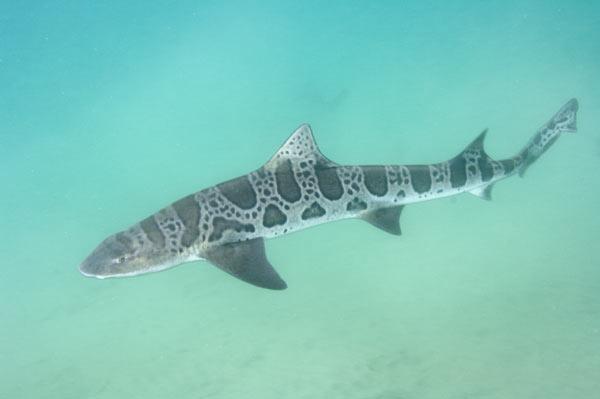 600x399 > Leopard Shark Wallpapers