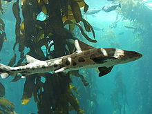Amazing Leopard Shark Pictures & Backgrounds