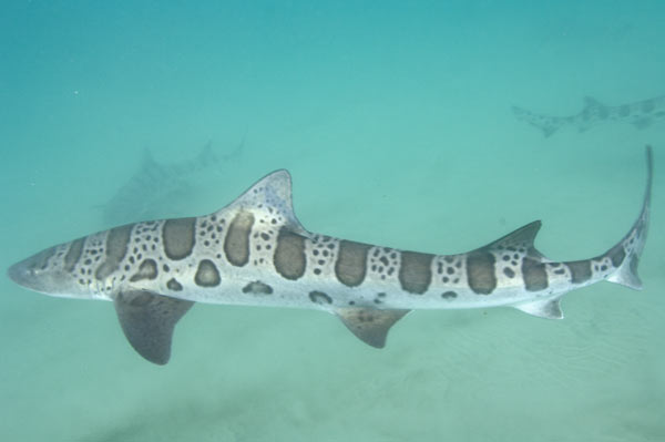 Leopard Shark HD wallpapers, Desktop wallpaper - most viewed