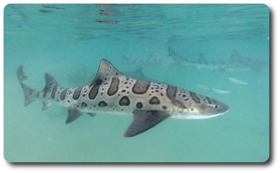 Leopard Shark Backgrounds on Wallpapers Vista