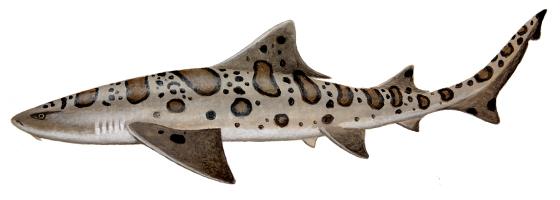 560x200 > Leopard Shark Wallpapers