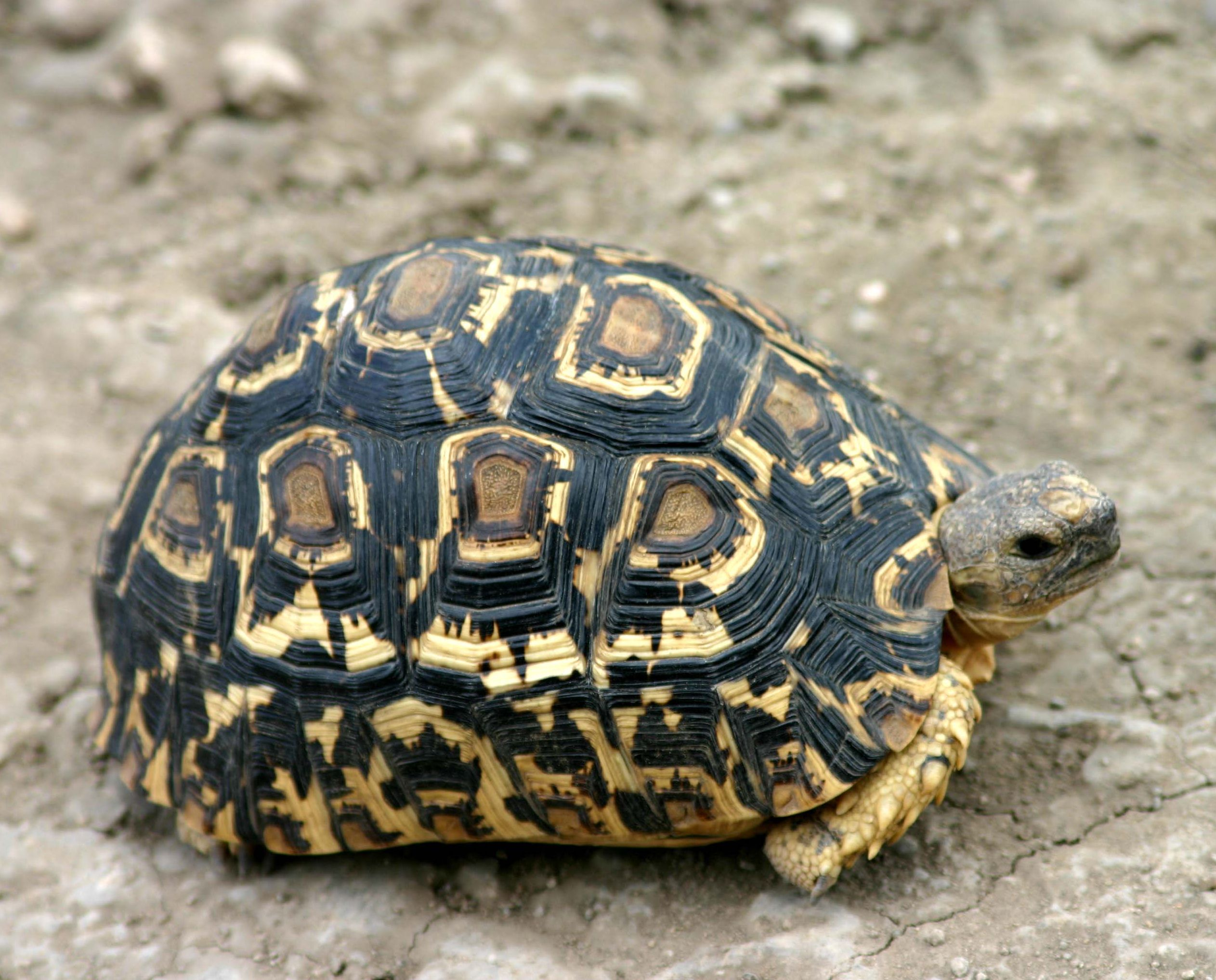 Nice Images Collection: Leopard Tortoise Desktop Wallpapers