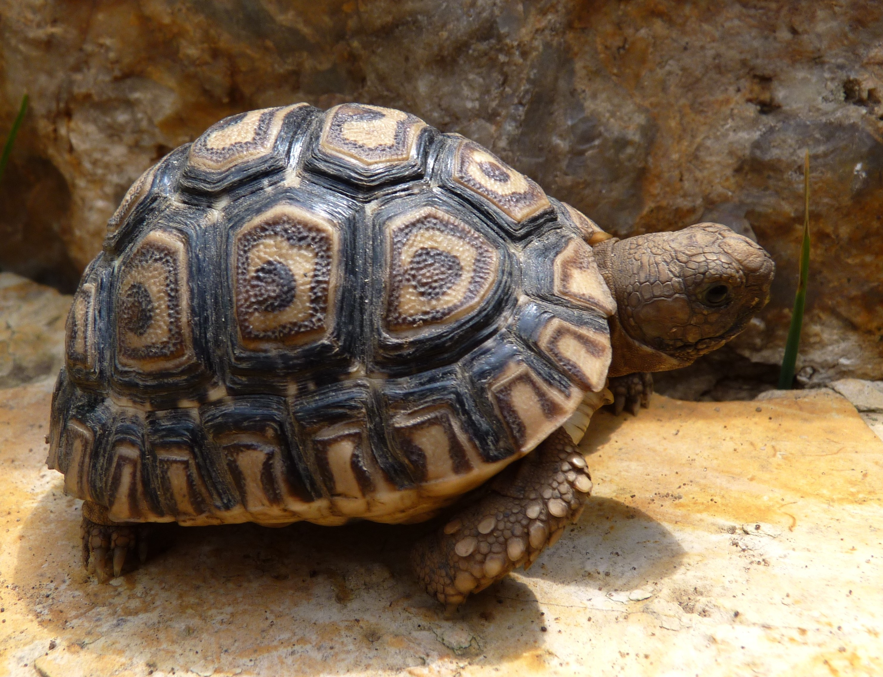 Leopard Tortoise HD wallpapers, Desktop wallpaper - most viewed