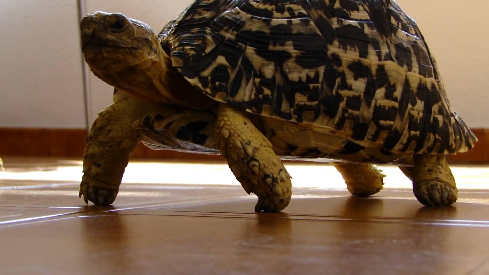 Leopard Tortoise Backgrounds, Compatible - PC, Mobile, Gadgets  1920x1080 px