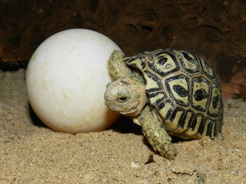 Leopard Tortoise High Quality Background on Wallpapers Vista