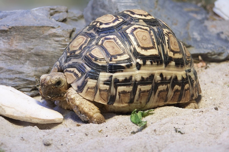 Leopard Tortoise Pics, Animal Collection