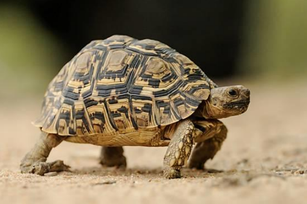 Amazing Leopard Tortoise Pictures & Backgrounds