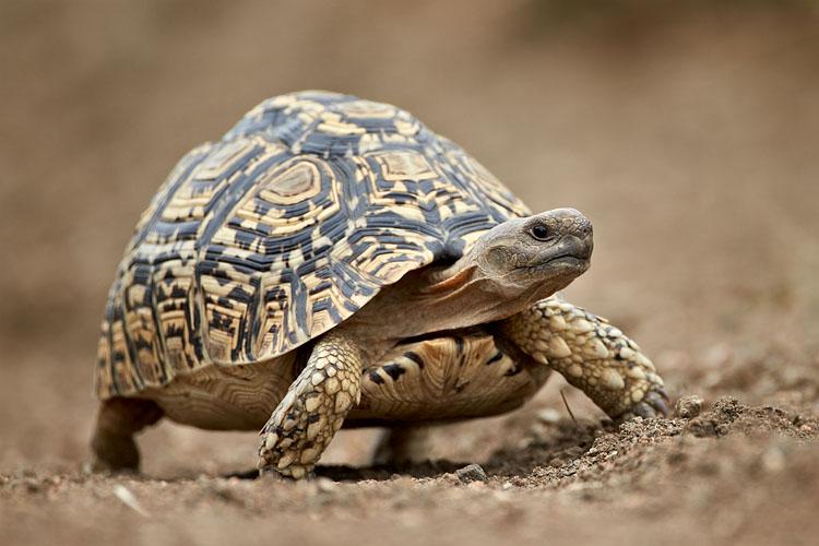 Leopard Tortoise Backgrounds, Compatible - PC, Mobile, Gadgets  750x500 px