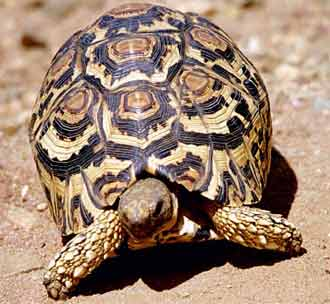 Leopard Tortoise Backgrounds on Wallpapers Vista