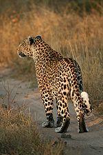 Leopard Backgrounds, Compatible - PC, Mobile, Gadgets| 150x225 px