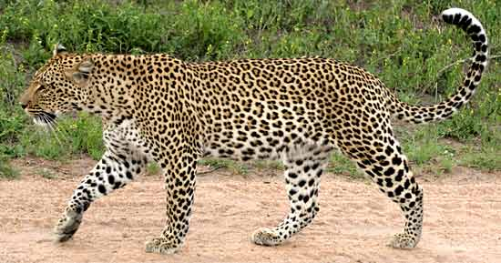 Nice Images Collection: Leopard Desktop Wallpapers