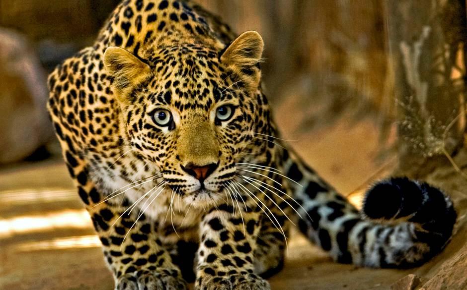 Leopard Backgrounds, Compatible - PC, Mobile, Gadgets| 940x585 px