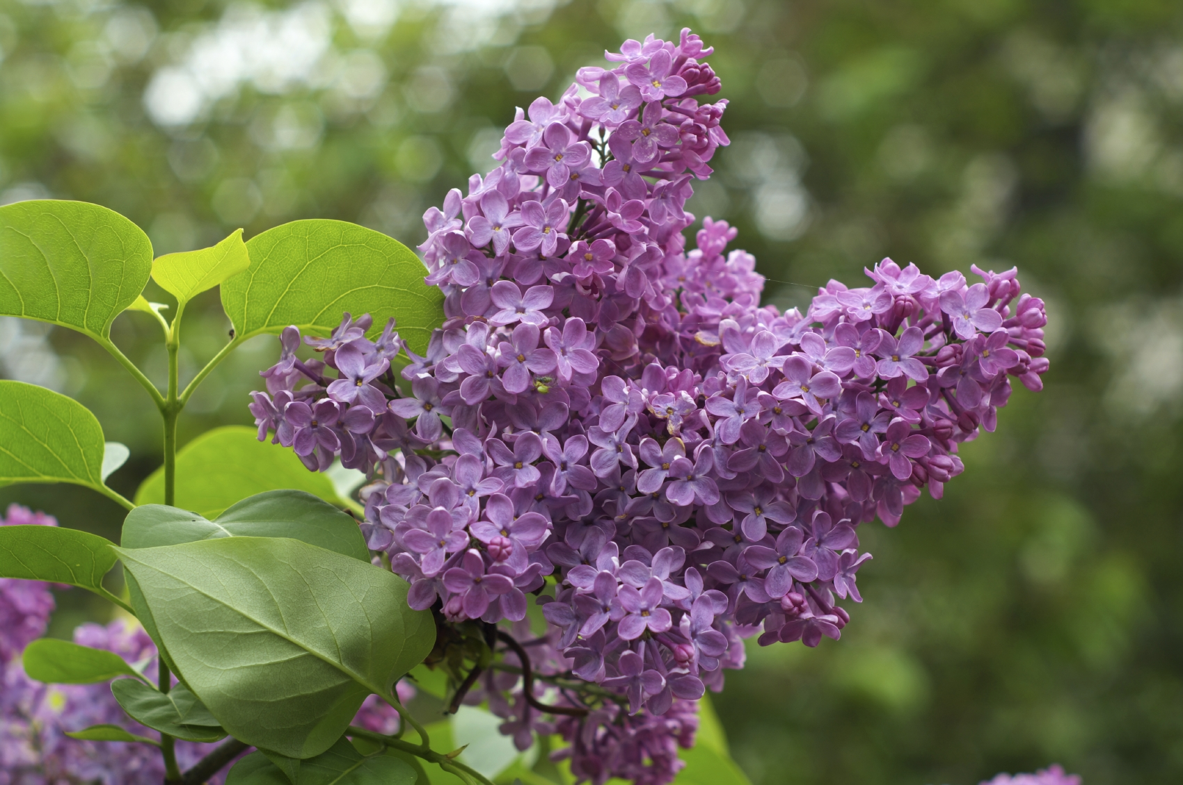 Nice Images Collection: Lilac Desktop Wallpapers