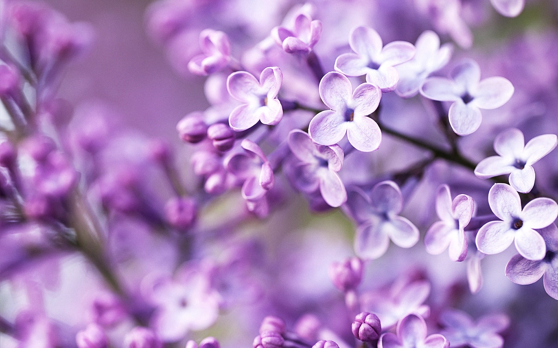 HQ Lilac Wallpapers | File 506.27Kb