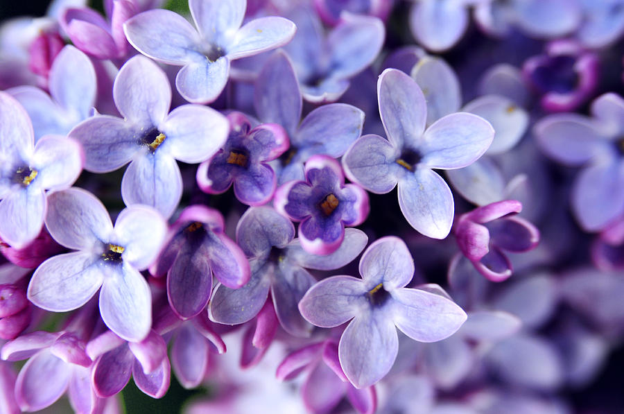 Images of Lilac | 900x597