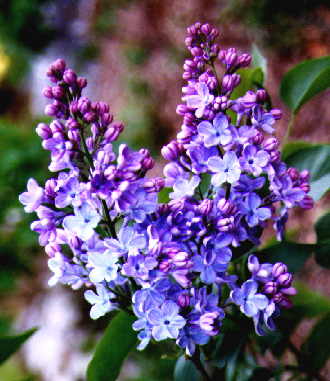 Amazing Lilac Pictures & Backgrounds