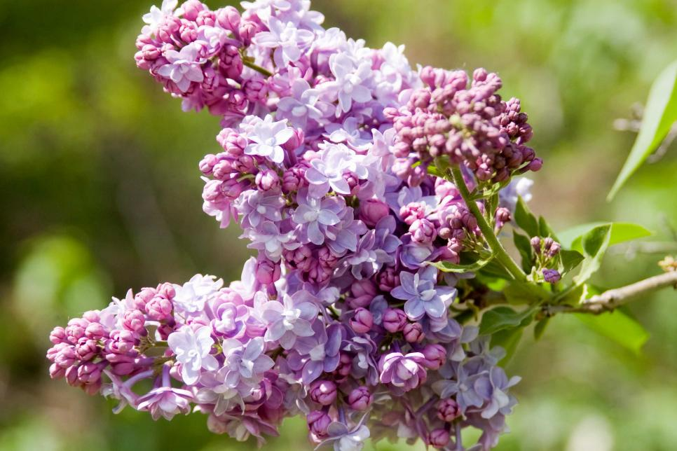 Lilac Pics, Earth Collection