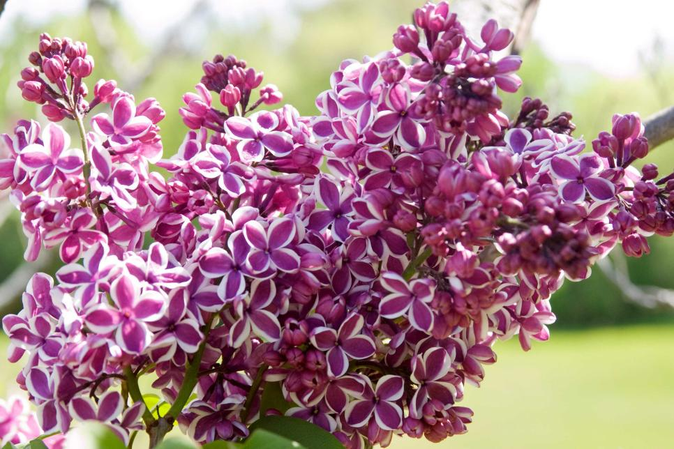 Lilac High Quality Background on Wallpapers Vista
