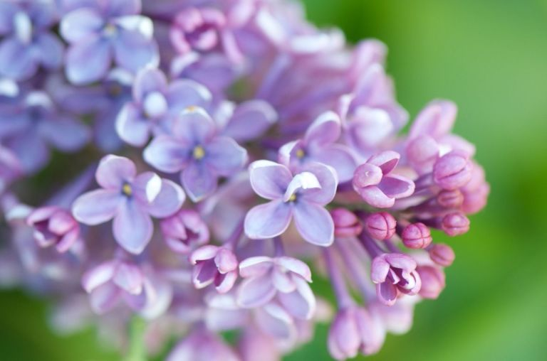 Images of Lilac | 768x508