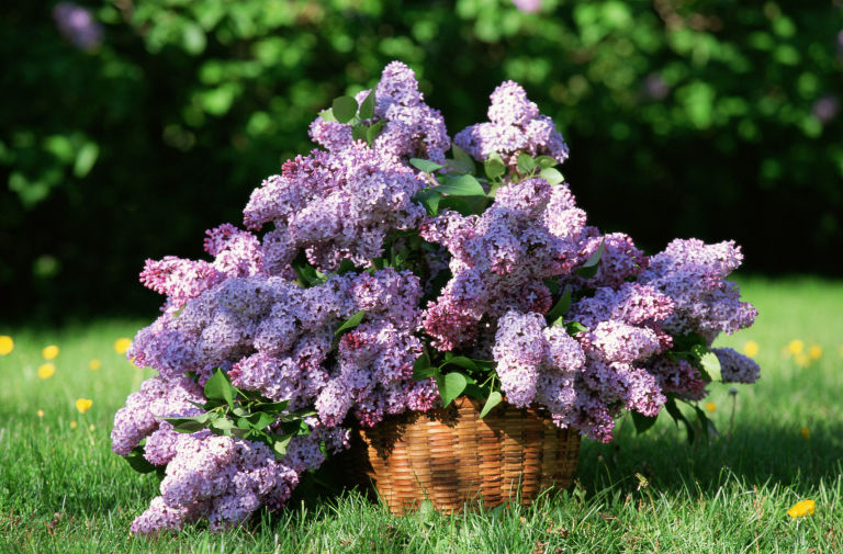 Lilac Backgrounds on Wallpapers Vista