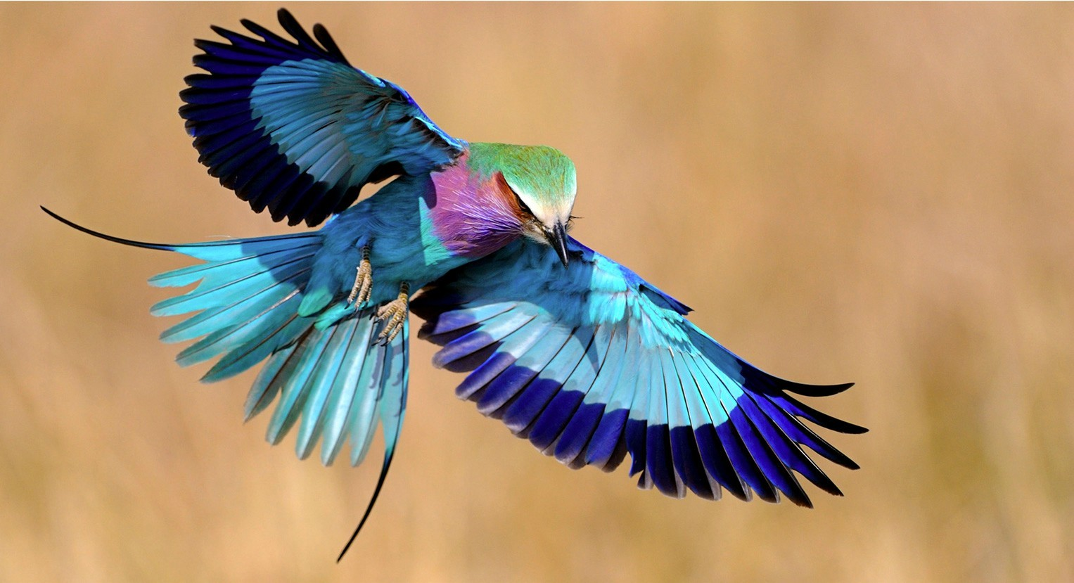 HD Quality Wallpaper | Collection: Animal, 1527x829 Lilac-breasted Roller