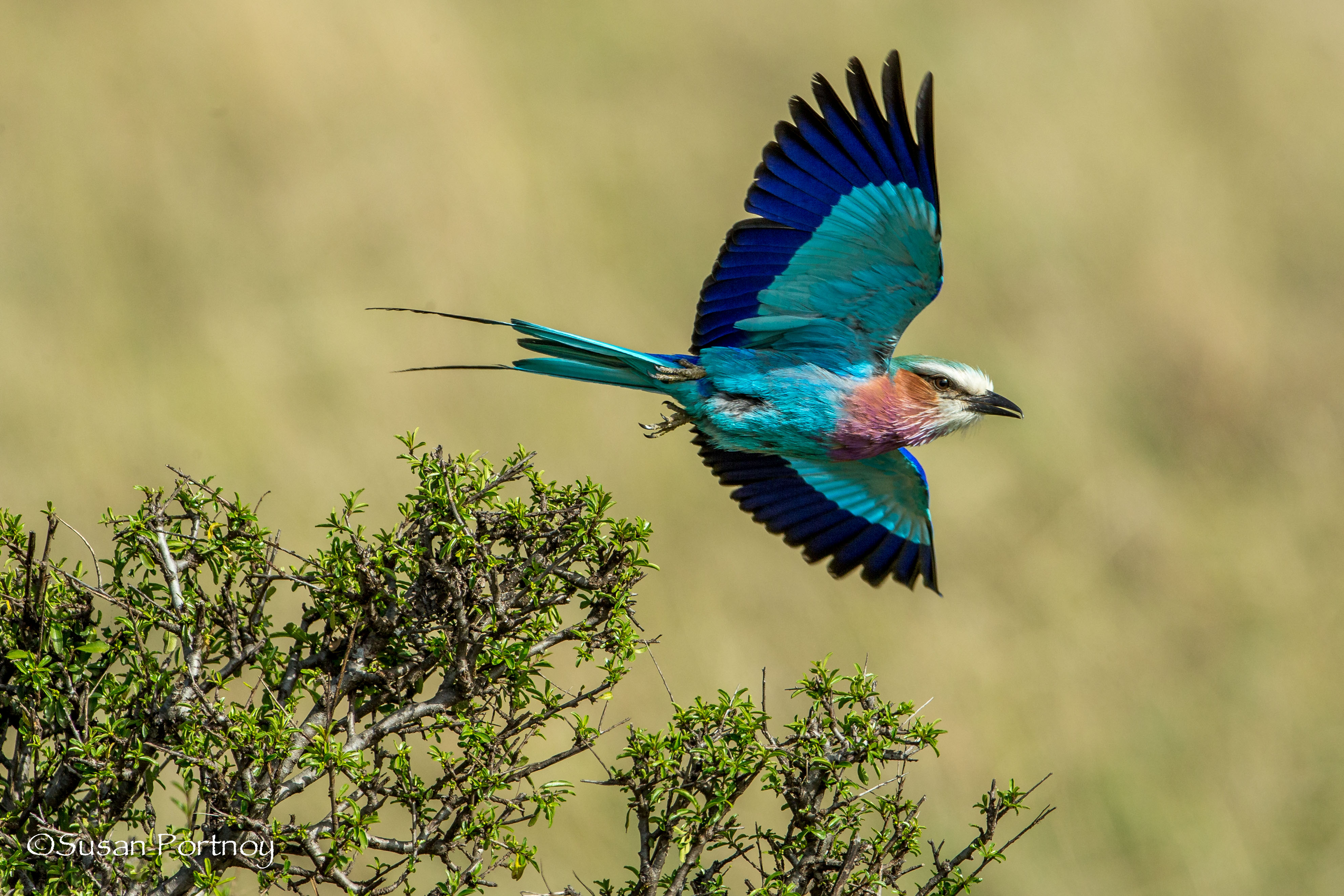High Resolution Wallpaper | Lilac-breasted Roller 3967x2645 px