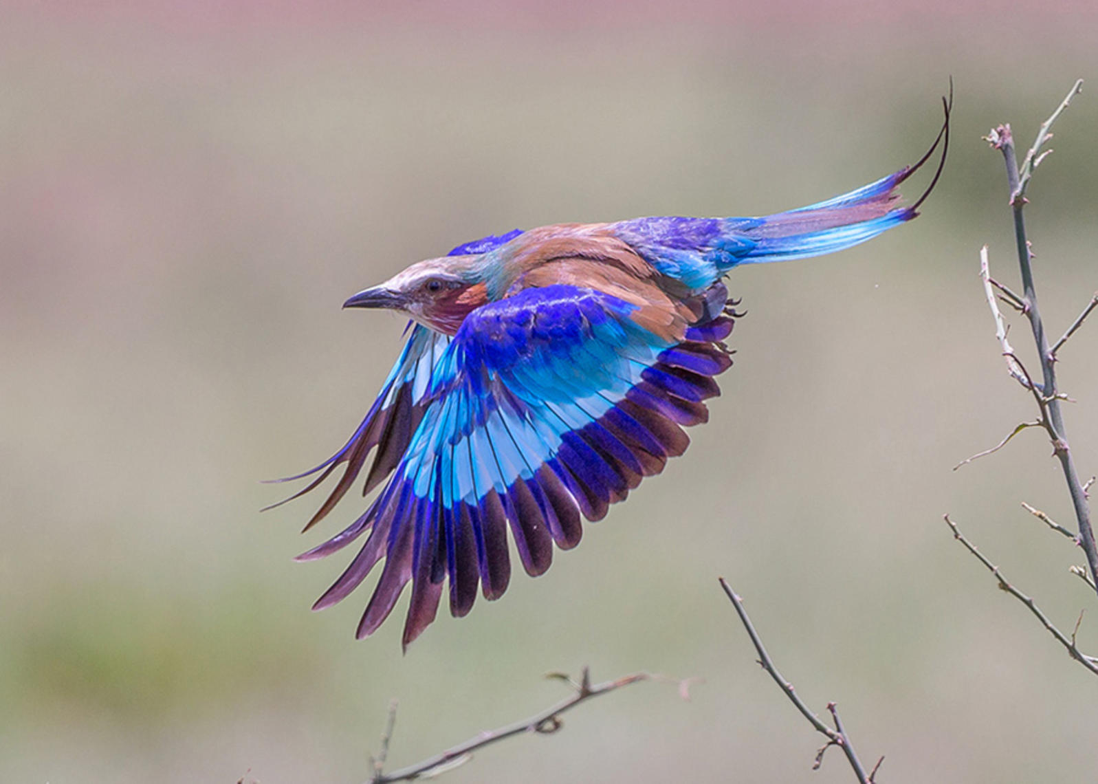 HD Quality Wallpaper | Collection: Animal, 1597x1140 Lilac-breasted Roller