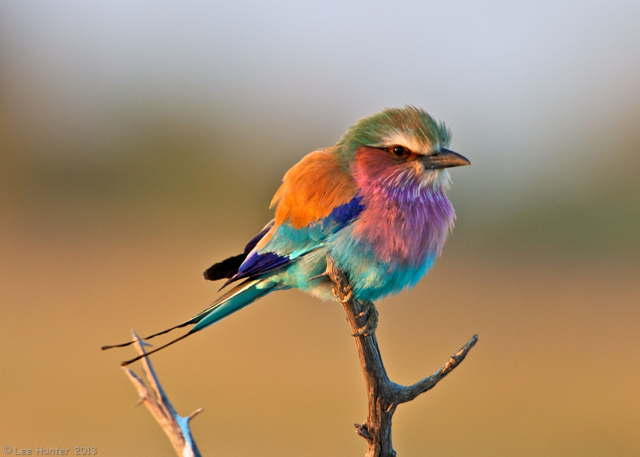 Lilac-breasted Roller Backgrounds, Compatible - PC, Mobile, Gadgets| 2591x1850 px