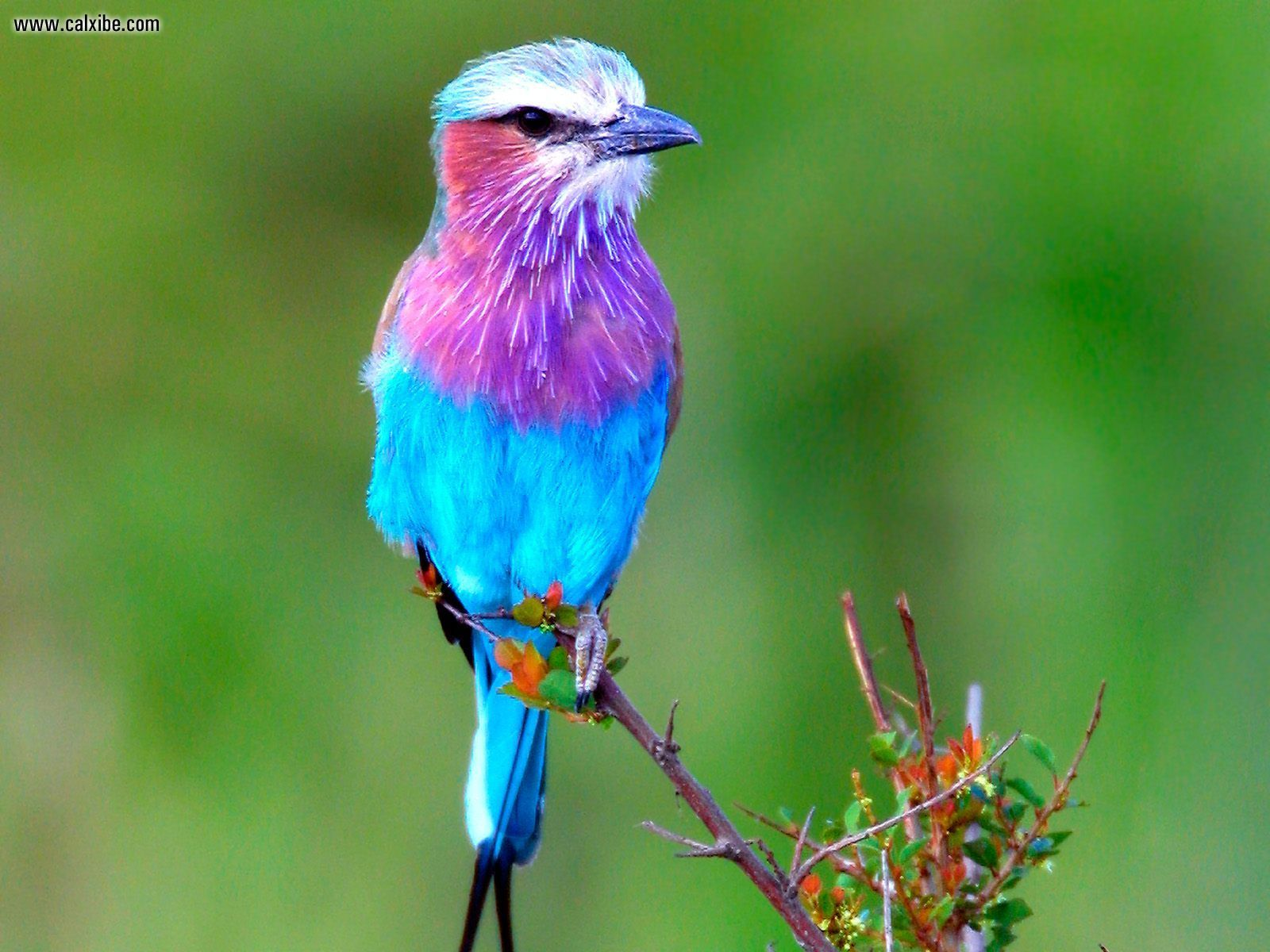 Amazing Lilac-breasted Roller Pictures & Backgrounds
