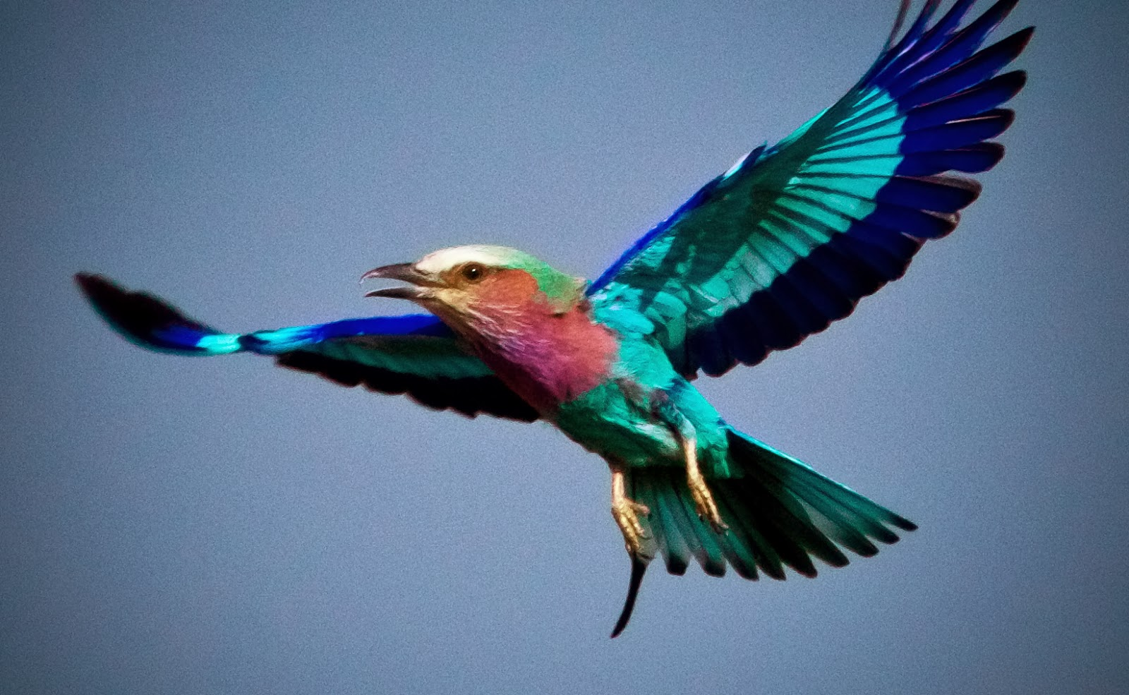 HD Quality Wallpaper | Collection: Animal, 1600x985 Lilac-breasted Roller