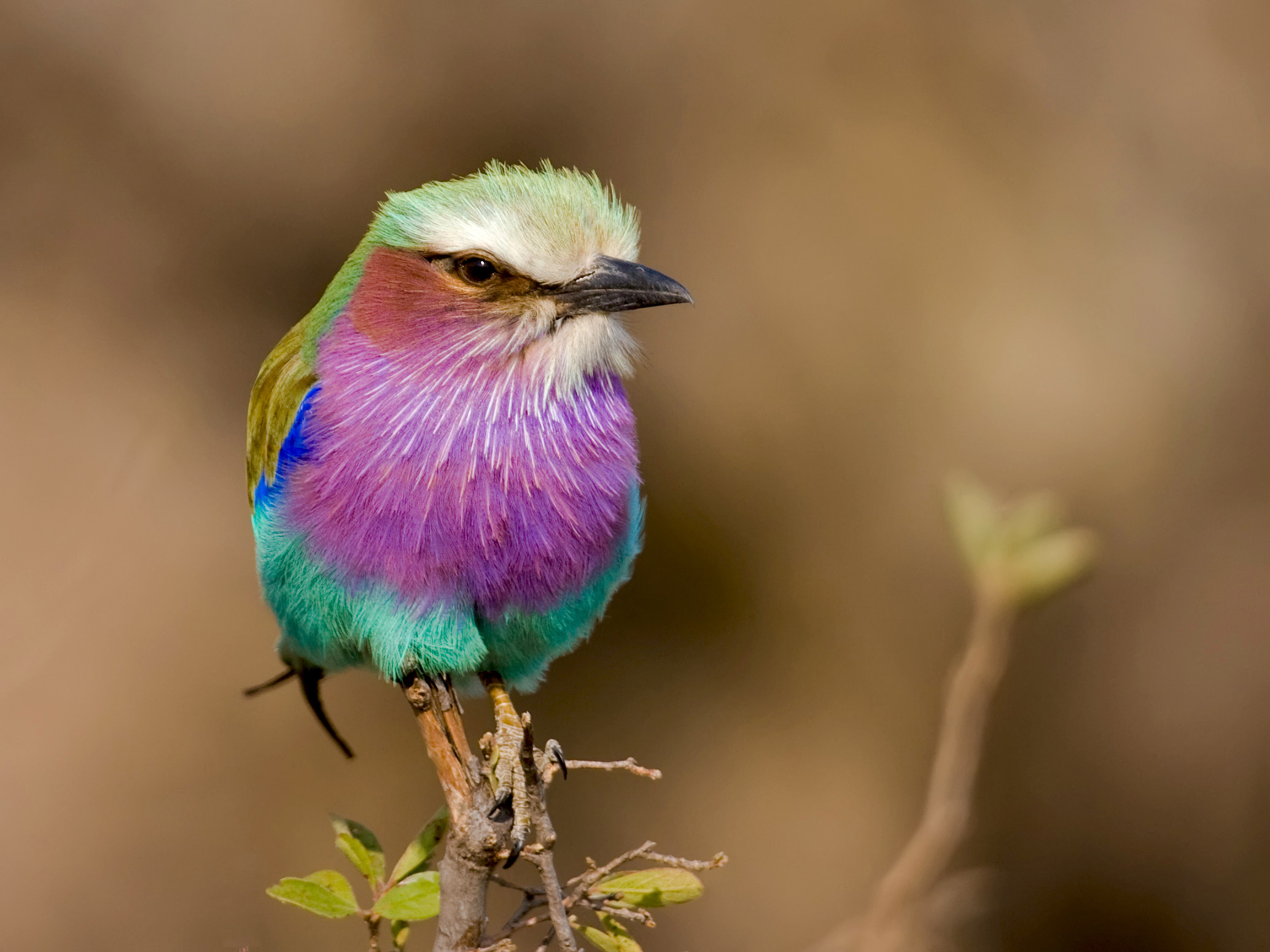 High Resolution Wallpaper | Lilac-breasted Roller 2068x1551 px