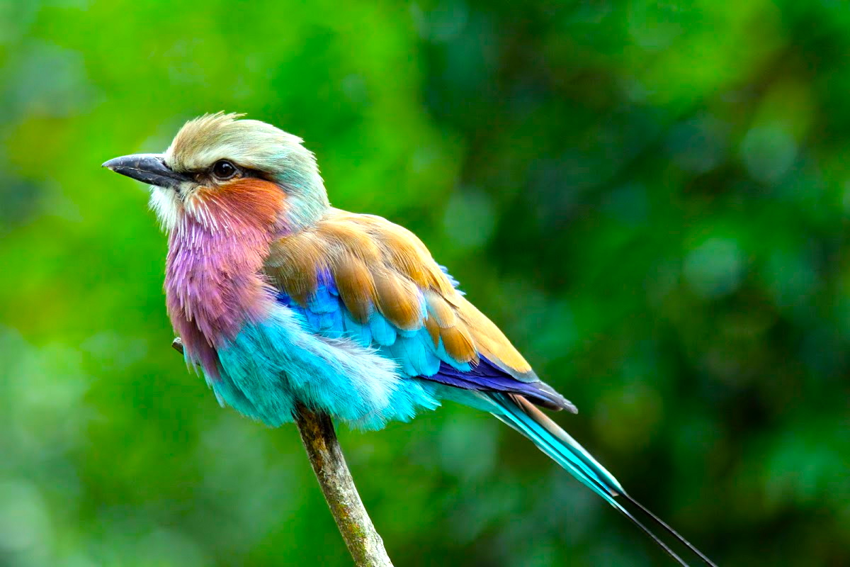 Images of Lilac-breasted Roller | 1200x800