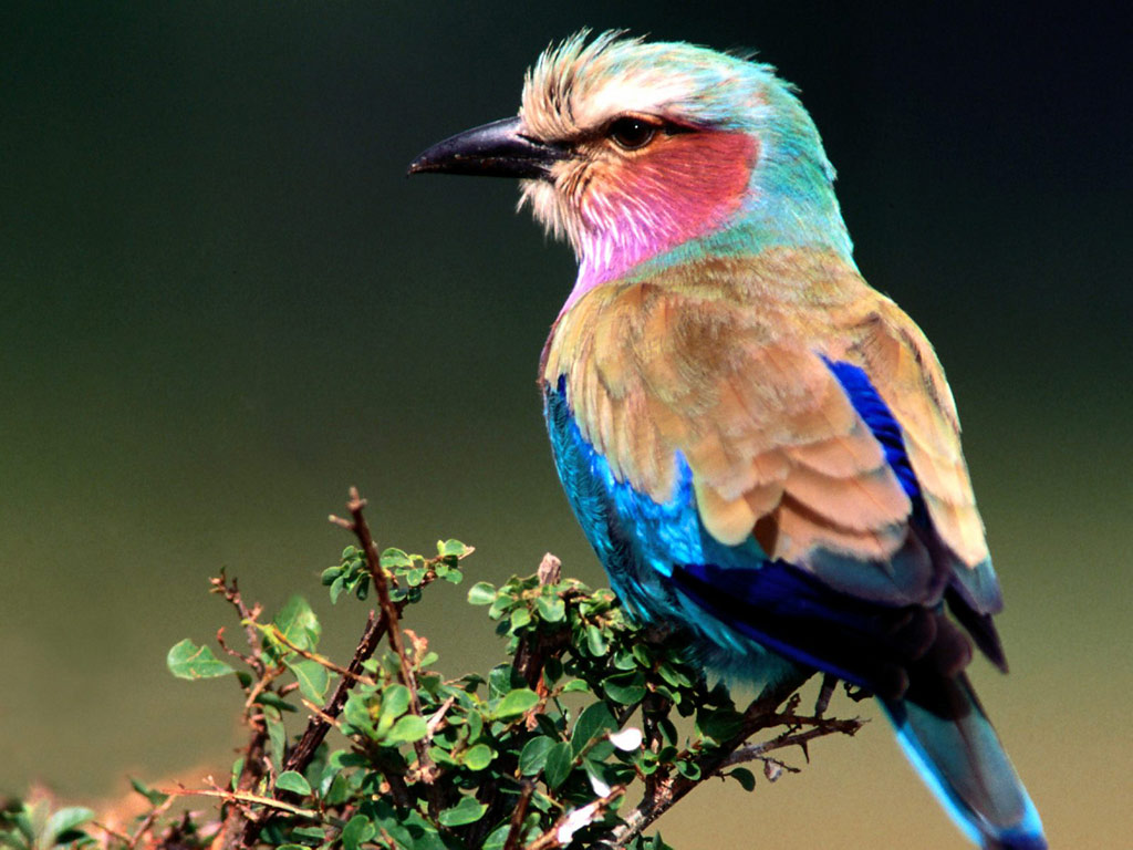 Nice Images Collection: Lilac-breasted Roller Desktop Wallpapers