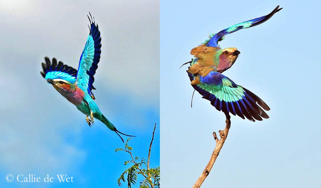 Nice wallpapers Lilac-breasted Roller 1030x602px