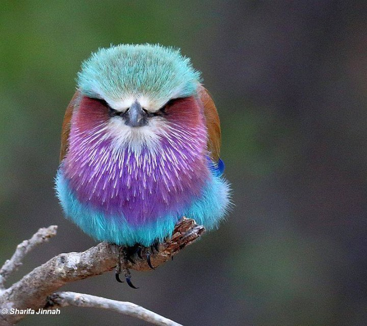 Lilac-breasted Roller Backgrounds, Compatible - PC, Mobile, Gadgets| 720x639 px